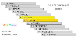 Genista radiata [Ginestra stellata] - Flora Italiana