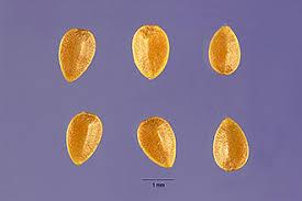 Plants Profile for Urtica urens (dwarf nettle)