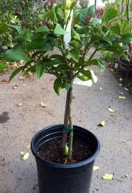 lemon tree x: eureka is a super lemon tree and very prolific we picked up this selection