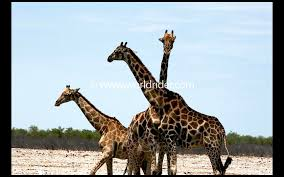 etosha national park a wildlife photo essay etosha national park a wildlife photo essay