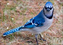 Image result for images of blue jays