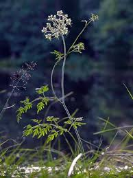 Milk-parsley, Peucedanum palustre - Flowers - NatureGate