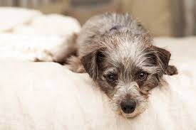 Image result for dogs in hospital beds