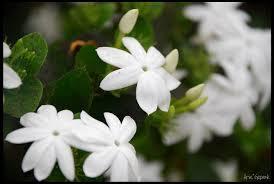 bunga melati putih