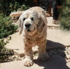 Ποιοι σκύλοι είναι επιρρεπείς στις λοιμώξεις των αυτιών...
