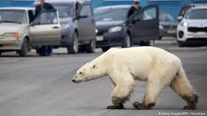 <b>Polar bear</b> wanders through Russian city of Norilsk | News | DW ...