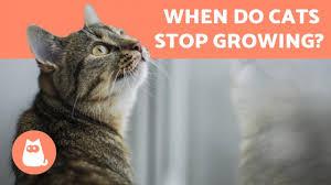 When is a <b>CAT</b> an <b>ADULT</b> and when do they STOP GROWING ...