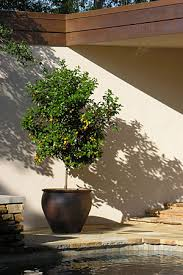 potted citrus trees kumquat  kumquat kumquat
