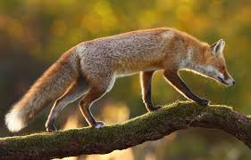 Red Fox - Hinterland Who's Who