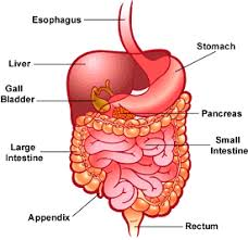 your digestive systemdigestive system diagram