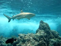 galean sharks bio zoobook picture
