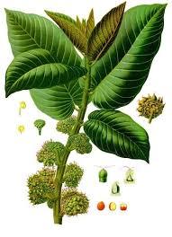 Moraceae - Wikipedia