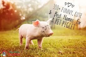 <b>Pig</b> Names: 300+ Funny, <b>Cute</b> & Best Names For A Pet Piglet – My ...
