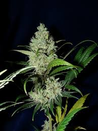 OutLaw - Feminized - Dutch Passion