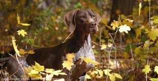 GSPCA: German Shorthaired Pointer Club of America | Official AKC ...