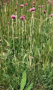 Cirsium dissectum - Wikipedia