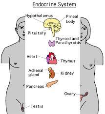 diagram sugar in body   diabetes inc endocrine system diagram