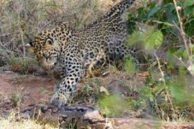 VIDEO: Leopards attack giant rock python | The Citizen