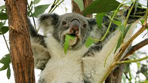 No, <b>Koalas</b> Aren't 'Functionally Extinct.' But They Are In Danger : 1A ...