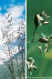 Agrostis schraderiana Bech.