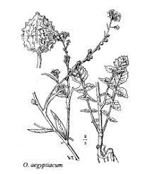 Sp. Ochtodium aegyptiacum - florae.it
