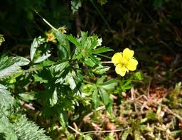 Potentilla erecta - Wikipedia