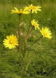 Tragopogon pratensis - Wikipedia