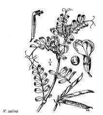 Gp. Vicia sativa - florae.it