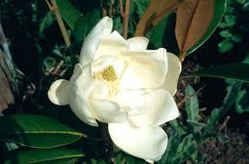 Резултат с изображение за MAGNOLIA grandiflora Double Nantais