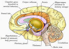 human anatomy and physiology diagrams  human brain diagram    human anatomy and physiology diagrams  human brain diagram