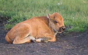 Image result for bison calf photos
