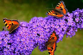 Billedresultat for sommerfuglebusk