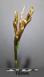 File:Carex ornithopoda subsp. ornithopoda sl10.jpg - Wikimedia ...