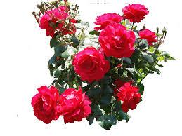 Image result for rose gif