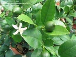 lemon tree x: improved meyer abe improved meyer