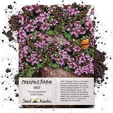 Seed Needs, Wild Creeping Thyme (Thymus serpyllum)