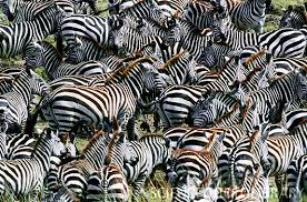 Image result for zebra camouflage