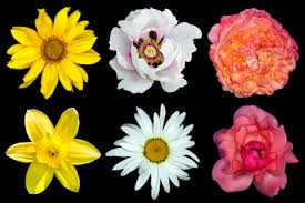 Mix Collage Of Flowers: <b>White Peony</b> Red And Rose Roses <b>Yellow</b> ...