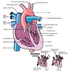the heart blood flow diagram   aof comgallery of the heart blood flow diagram