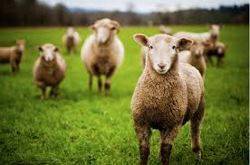 Image result for shepherd and sheep images