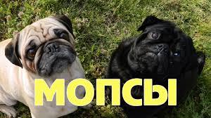 <b>Мопсы</b>! Самые смешные и милые <b>мопсы</b>! - YouTube