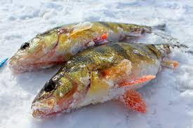 Image result for perch on ice