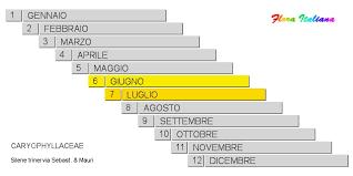 Silene trinervia [Silene a tre nervi] - Flora Italiana