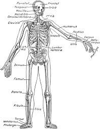 diagram of skeleton   anatomy picture reference and health newsdiagram of skeleton