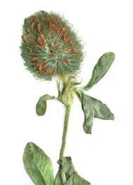 AgroAtlas - Relatives - Trifolium diffusum Ehrh. - Diffuse Clover