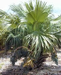 Livistona chinensis - Wikipedia