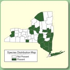 Sorbaria sorbifolia - Species Page - NYFA: New York Flora Atlas