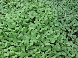 Image result for mache french lettuce