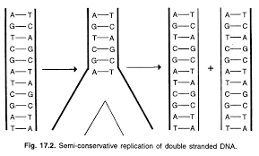 essay on dna replication   geneticssemi conservative replication of double stranded dna