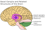 Images & Illustrations of basal ganglion